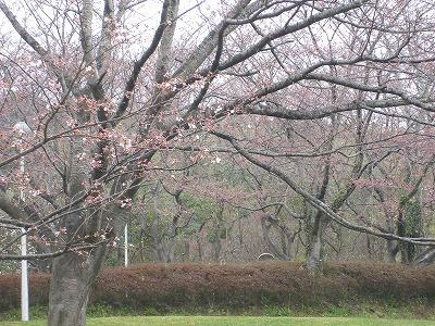師戸城の桜 005.jpg