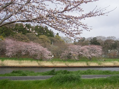 新川の桜 001.jpg
