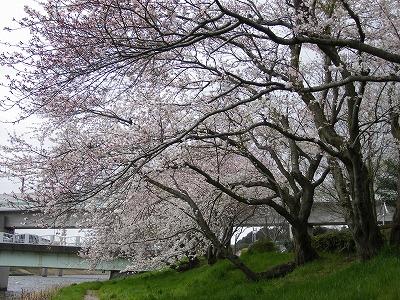 新川の桜 004.jpg
