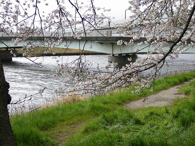 新川の桜 006.jpg