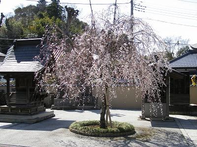 東栄寺の桜 005.jpg